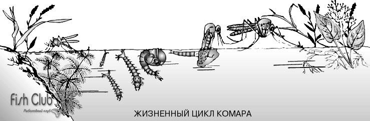 Стадии жизни комара-мотыля