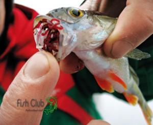 Мотыль во рту рыб-окуня