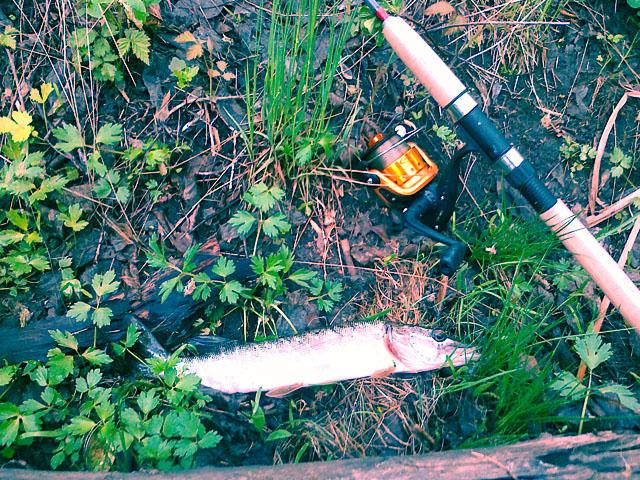 Щучка пойманная на весенний спиннинг