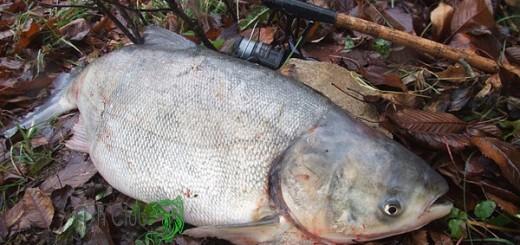 ловля толстолобика в беларуси видео