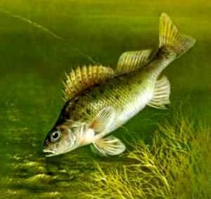 Ерш обыкновенный рыба