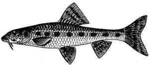 Пескарь рыба