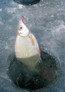 Ловля гутеры зимой на поплавок