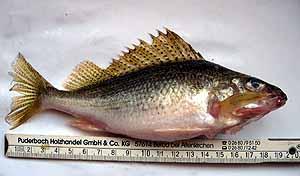 ерш рыба
