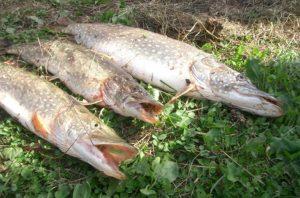 rybalka-shhuku-na-maloj-reke-na-rezinu-3
